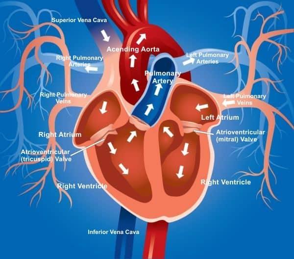 Схема кровотока