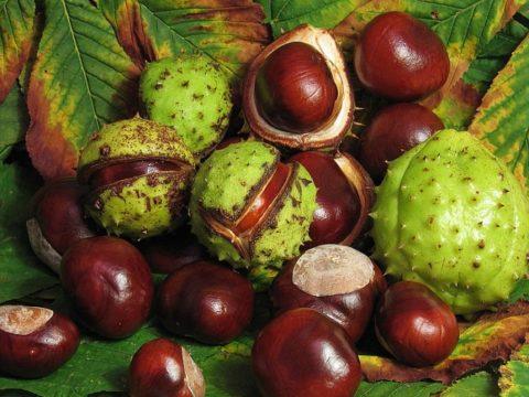 Спелые плоды конского каштана