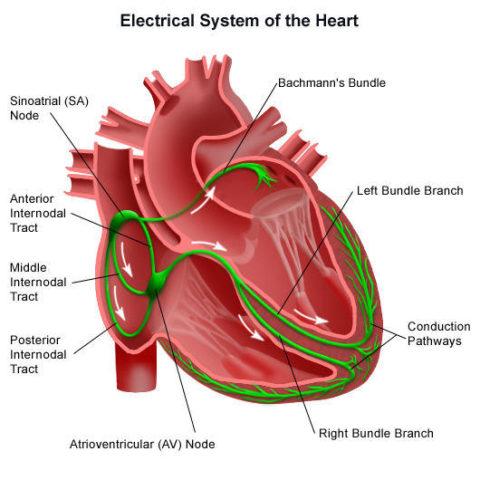 Строение проводящей системы, ответственной за генерацию электрического импульса.