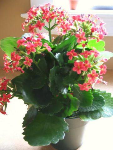 Цветоводы ценят растение за пышное и продолжительное цветение.