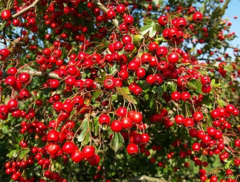 Ароматные и вкусные ягоды обыкновенного боярышника.
