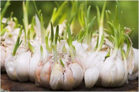 Укрепить сосуды поможет ежедневный прием нескольких зубков овоща