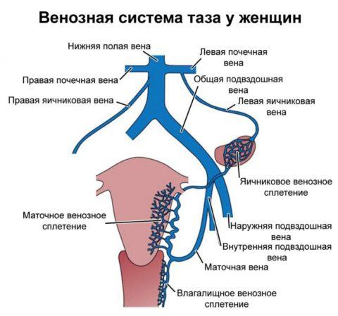 Венозная система таза