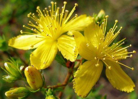 Зверобой – простое и скромное растение для лечения множества заболеваний и патологий.