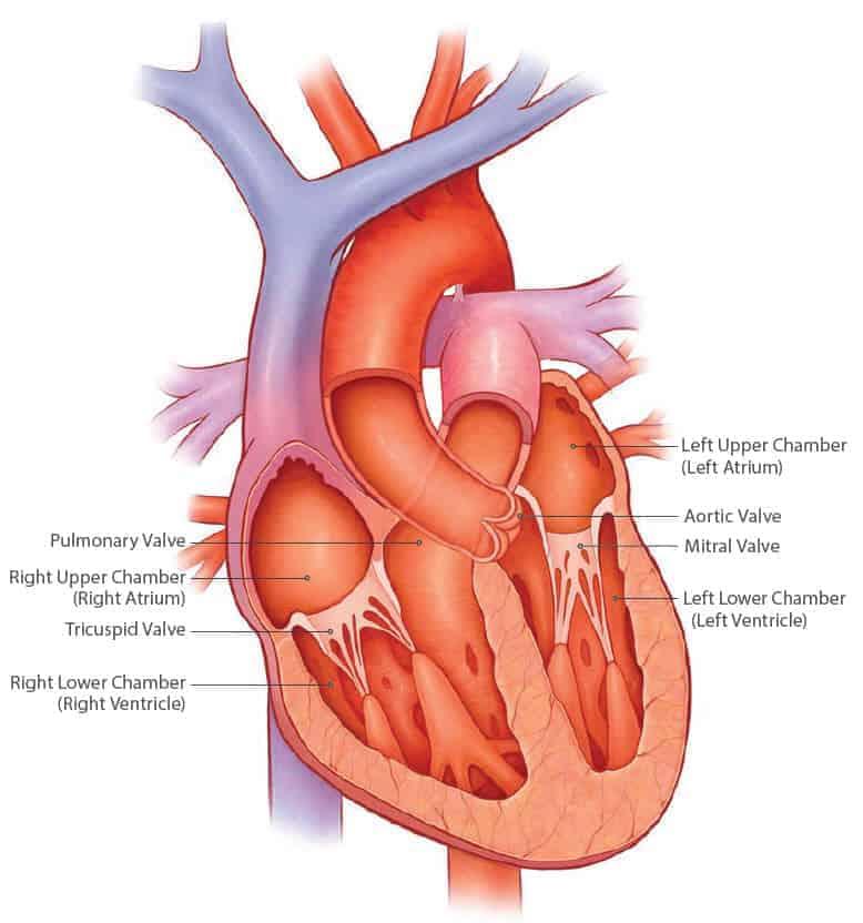 Знания о строении сердца и его клапанов важны как для кардиолога, так и для специалиста в другой отрасли.
