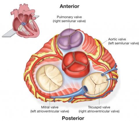 Аорта и легочная артерия – сосуды сердца имеющие клапаны.