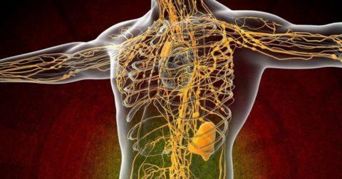 Компоненты системы лимфообращения выполняют важные для организма функции
