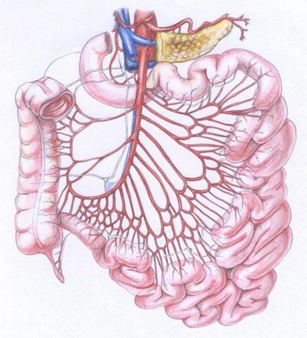 Кровоснабжение тонкой кишки (на фото – ветви мезентериальной артерии)