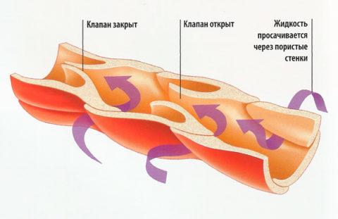 Множество клапанов обеспечивают нормальный отток лимфы
