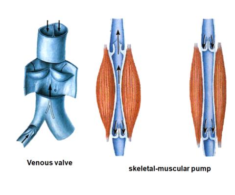 Мышечный насос – основа в движении крови из нижних конечностей в проксимальные отделы.