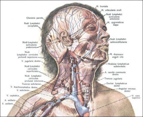 На голове и шее сосредоточено большое количество узлов