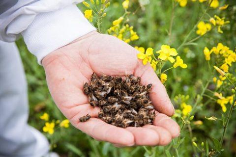 Пчелиный подмор при тромбофлебите.