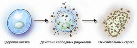 Принцип негативного действия свободных радикалов на клетки