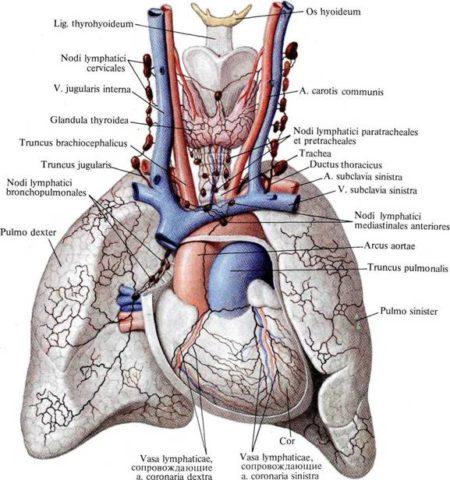Схема оттока лимфы от органов грудной клетки