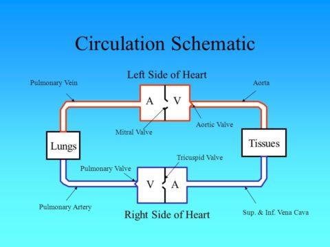 Схематическое изображение циркуляции крови по сердечно-сосудистой системе.