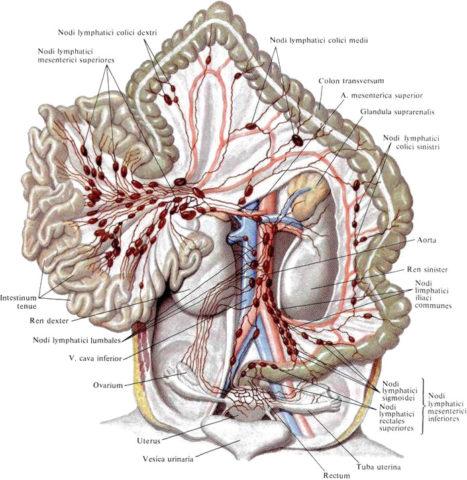 Сосуды системы лимфообращения в брюшной полости