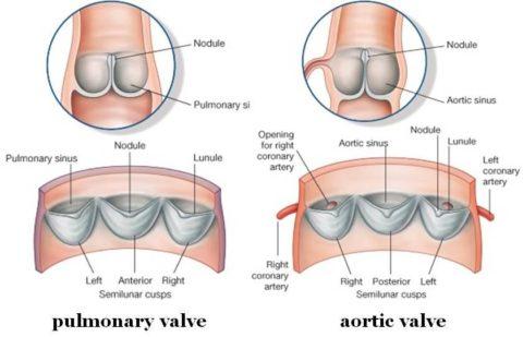 Строение клапанов аорты и легочной артерии.