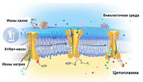 Натрий-калиевый насос – важный для функционирования всех клеток в организме