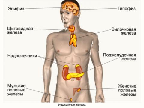 Органы внутренней секреции