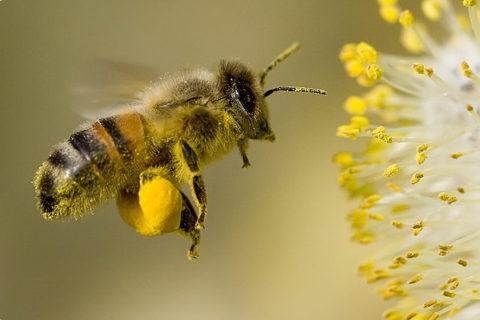 Пчелиная пыльца (обножки)