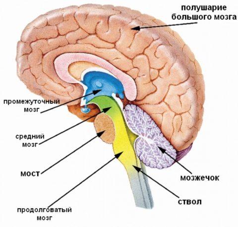 Схема отделов головного мозга