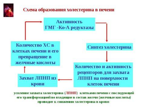 Схема синтеза холестерина в печени