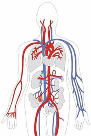 Схема строения сердечно-сосудистой системы