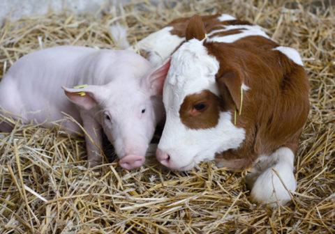 Поросенок и теленок