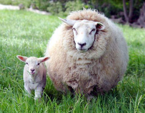 Овца с ягненком