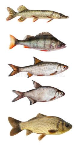 Пресноводные виды рыб