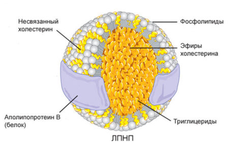 Структура липопротеиновой молекулы низкой плотности (ЛПНП)