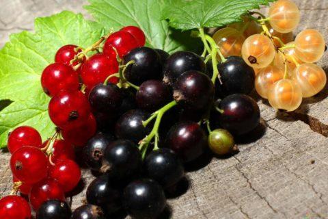 Три вида смородины
