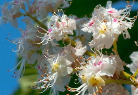 Соцветия растения также можно использовать