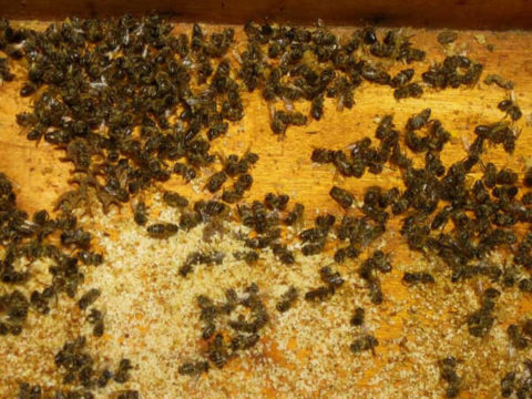 Погибшие пчелы после зимовки