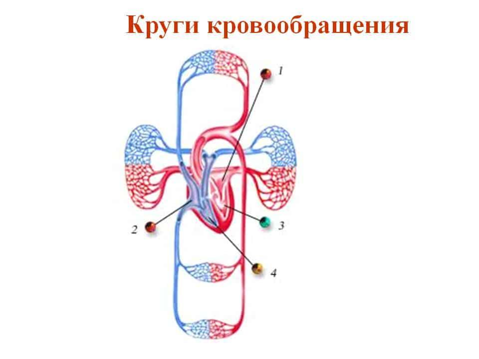 Два круга кровообращения обеспечивают постоянную циркуляцию и насыщение крови кислородом
