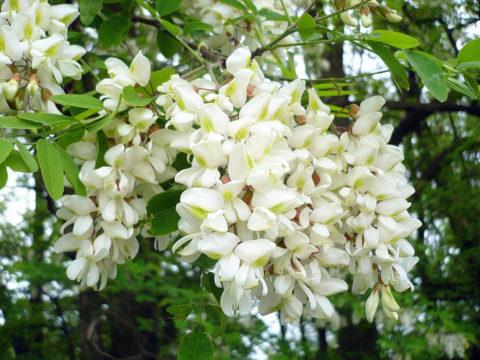 Белая акация не только ценный медонос, но и полезное лекарственное растение, цветы которого лечат варикоцеле.