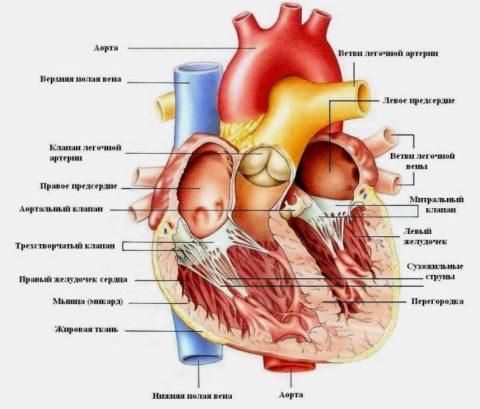 Сердце человека – результат многолетней эволюции