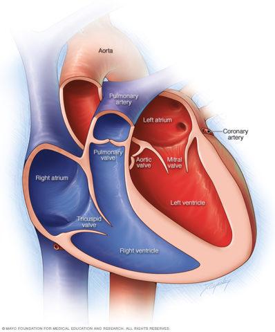 Схематическое изображение камер сердца