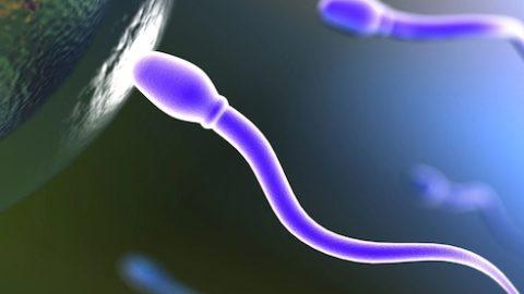 Сперматогенез – процесс образования сперматозоидов