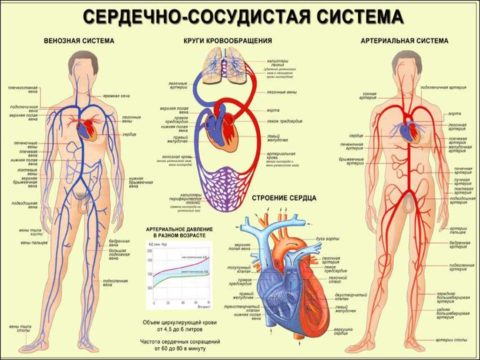 ССС имеет сложное анатомо-физиологическое строение