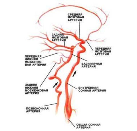 Анатомия кровоснабжения ЦНС