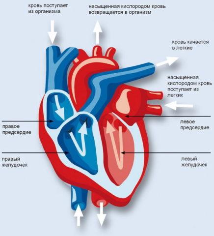Артериальная и венозная кровь не смешиваются