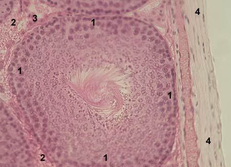 Фото клеток семенного канальца (поперечный разрез)
