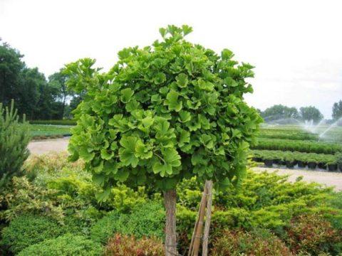 Гинко билоба – многолетнее растение реликтовых сортов