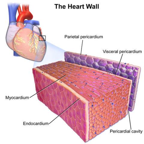 Каждая сердечная стенка выполняет свои функции
