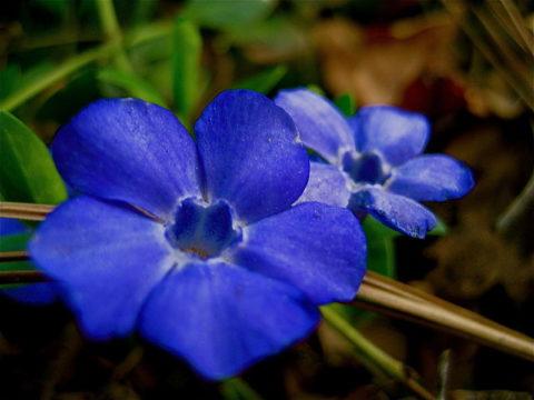 Лекарственное растение барвинок