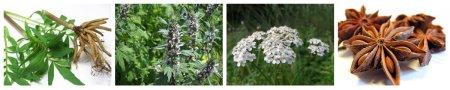 Растительный сбор из тысячелистника, аниса, валерианы.