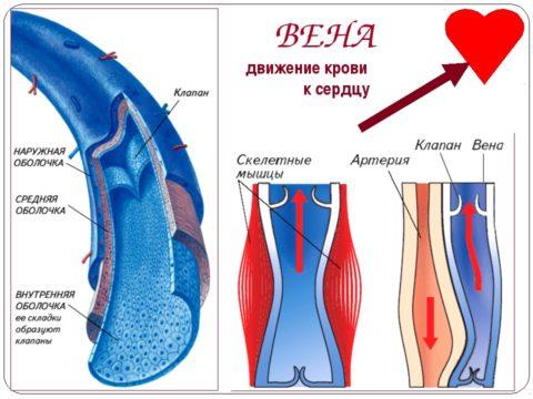 В отличие от артерий вены содержат клапаны, регулирующие ток крови