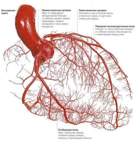 Венечные артерии создают развитую сеть сосудов, питающих сердце