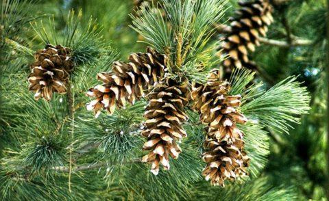 Ароматные сосновые шишки – натуральное природное лекарство.
